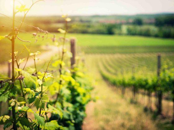 El Cambio Climático en el Vino